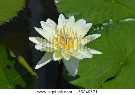 A water lily floating on the pond