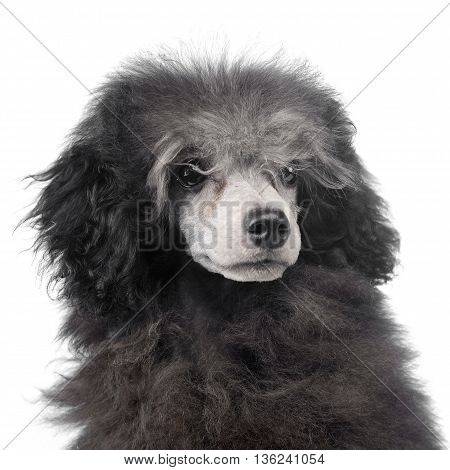puppy Poodle portrait in white photo studio