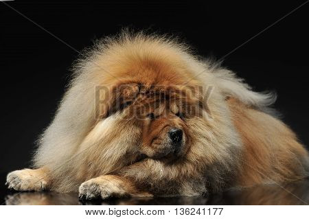 Chow Chow looking down in a dark studio