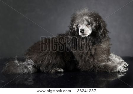 Puppy Poodle lying on the studio table