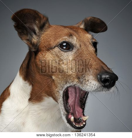Jack Russell Terrier yawn in a photo studio
