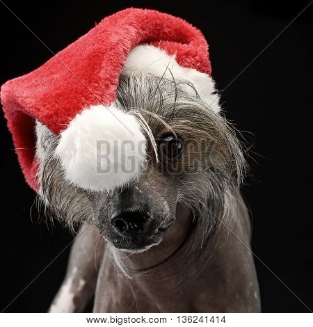 Chinese Crested Dog in a Santa Claus hat