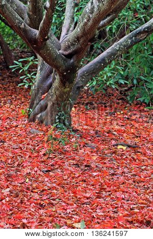 Acer tree in a carpet of leaves in autumn