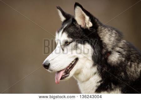 Siberian Husky Dog Outdoors In Nature