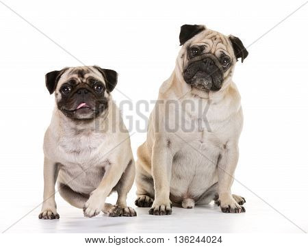 Brown And White Mops Dogs