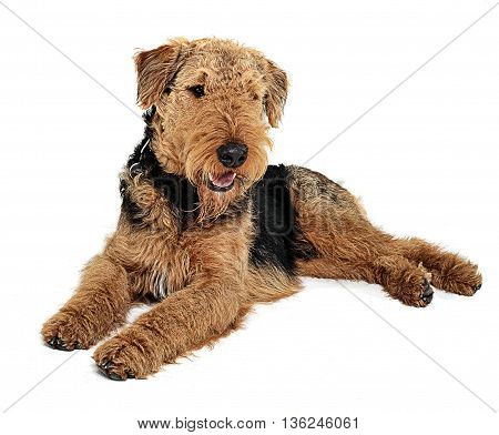 Airedale Terrier Relaxing On The White Studio Floor