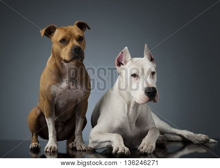 Argentin Dog And Staffordshire Terrier On The Shiny Floor
