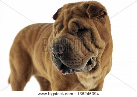 Shar Pei Looking Left In The White Studio