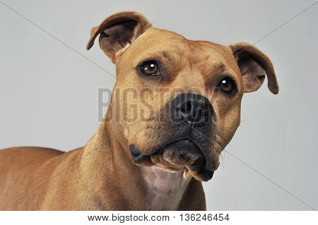 Amstaff Portrait In A White Photo Studio