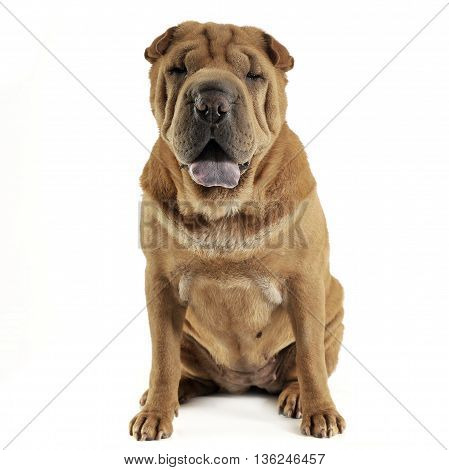 Shar Pei Sitting In The White Studio And Looking Into The Camera