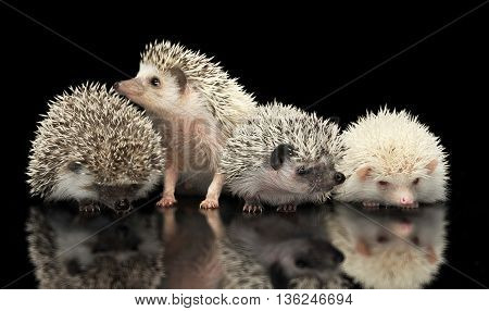 Four African Hedgehogs are in the dark studio one looking up