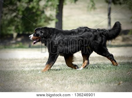 Bernese Mountain Dog running on the nature