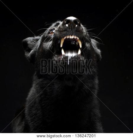 Black German shepherd barking in the dark studio