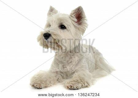 West Highland White Terrier on the white studio floor