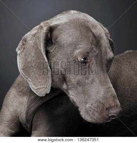 Sweet Weimaraner Portrait In A  Photo Studio