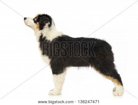 Puppy Australian Shepherd Standard In White Studio