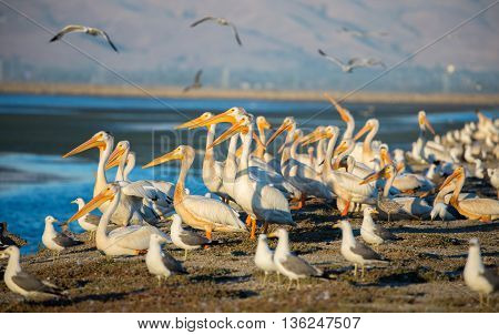 Pelicans and Gulls on levee; Alviso, CA