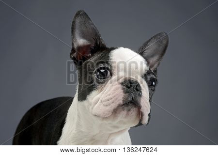 Puppy Boston Terrier Portrait In A Grey Photo Studio