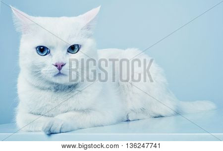 White Cat Look  At You In A White Studio