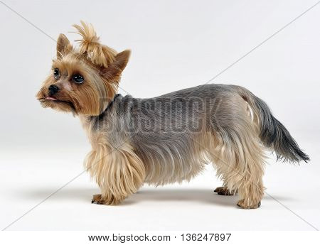 Yorkshire Terrier staying in the white limbo