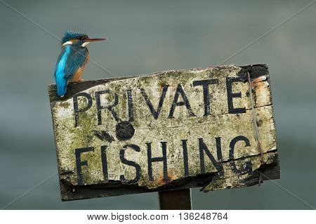 Kingfisher (Alcedo Atthis) perched on private fishing sign