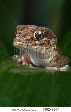 Madagascan Ground Gecko (Paroedura Pictus) on large wet palm leaf