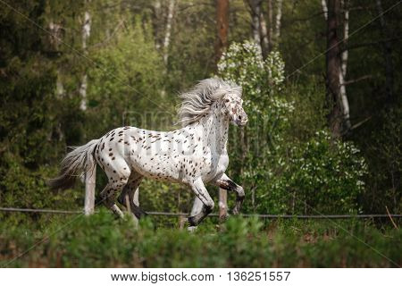 Beautiful white horse gallops through the forest and on the field