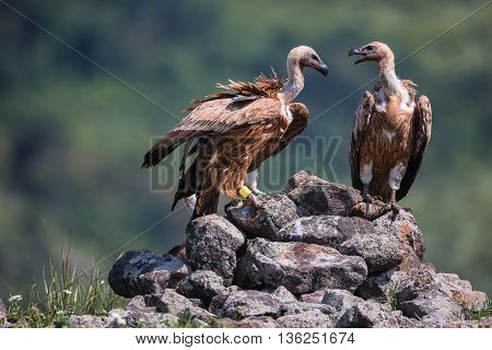 Griffon Vulture in a detailed portrait standing on a rock overseeing his territory