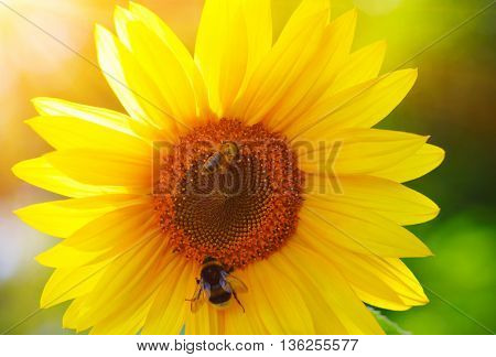 Close up of sunflower on green  background