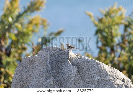 Sparrow pauses atop large boulder in bright sun