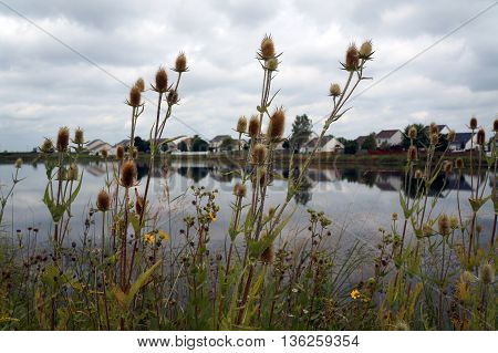 Cones of cutleaf teasel plants (Dipsacus laciniatus), among other widflowers, in front of a small lake in Shorewood, Illinois during August.