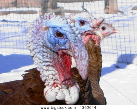 Mug Shot - Three Turkeys