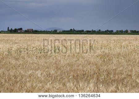 The image of a wheat field in Rovigo, Italy