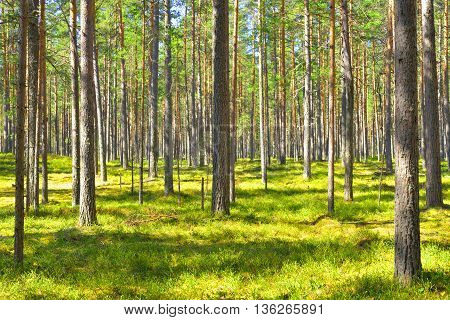 Pine tree forest at spring sunny day.