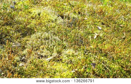 The photo of moss close up at sunny day.