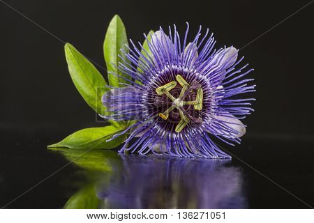 Close up of a Blossom of Passiflora