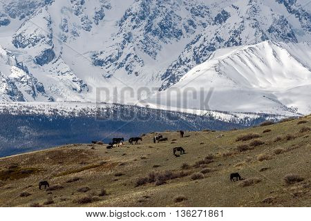 Scenic view with the beautiful mountains with snow and glaciers and a herd of horses grazing on a hillside with sparse vegetation