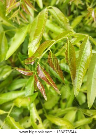 close up Azadirachta indica leaves in nature garden