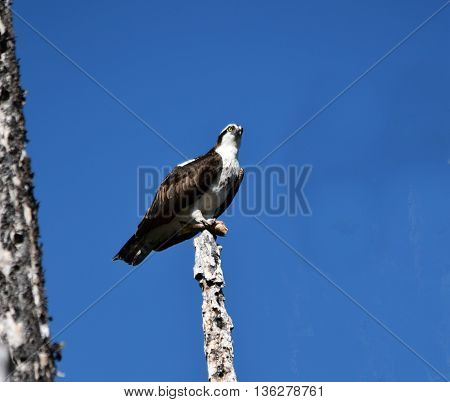 an osprey perches on a snag with it's fish