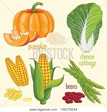Set of vegetables mix vector isolated. Healthy eat. Pumpkin, chinese cabbage, corn and beans vegetables. Natural organic food. Ingredients for a vegetarian meal.