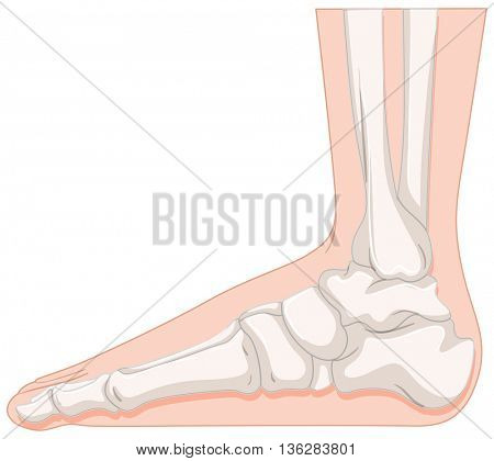 Foot bone in closer look illustration