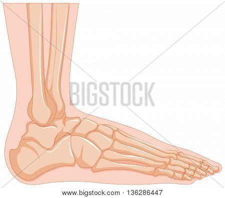 Inside of human foot bone illustration