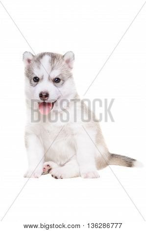 Cute puppy breed Husky sitting sticking his tongue out, isolated on white background