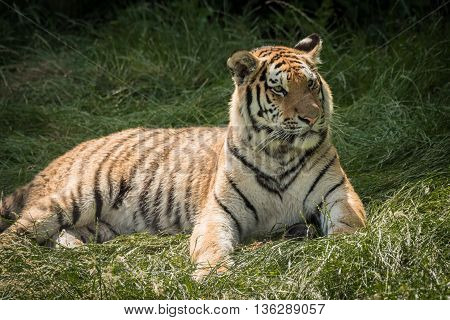 portrait of a tiger lying down and looking alert