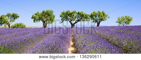 lavender fields of the French Provence, panoramic view