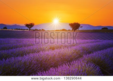Lavender field summer sunset landscape with two tree near Valensole.ProvenceFrance