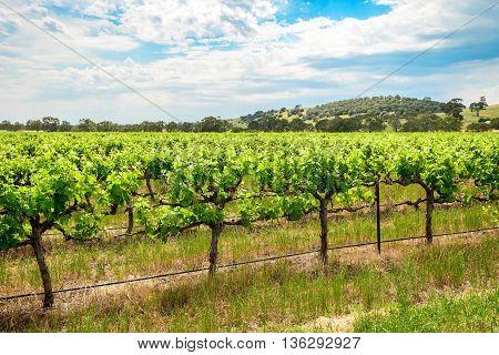 Grape vines in Barossa Valley South Australia.