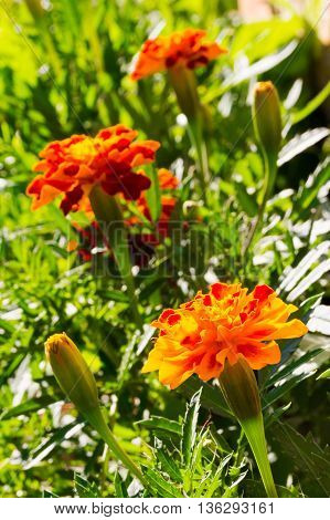 the flowers of calendula (Calendula officinalis) on a Sunny summer day. selective focus shallow depth of field