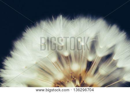 part of dandelion flower on dark background