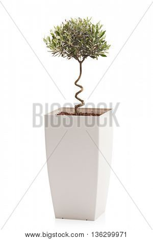 Vertical studio shot of an olive tree in a white flowerpot isolated on white background